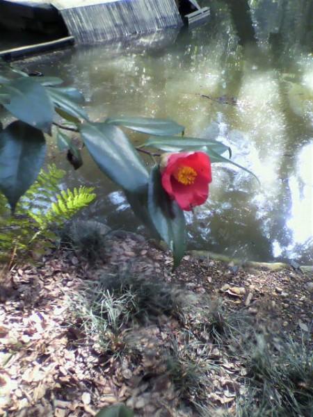 小石川公園の椿