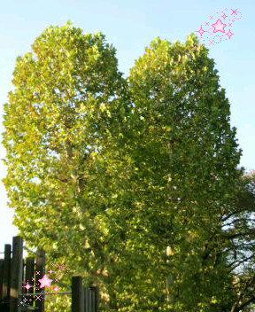 ハートの木